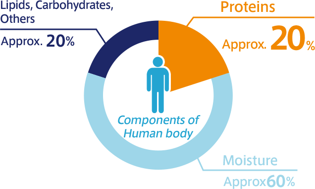 Components of Human body Proteins Approx. 20% Moisture Approx. 60% Lipids, Carbohydrates, Others Approx. 20%