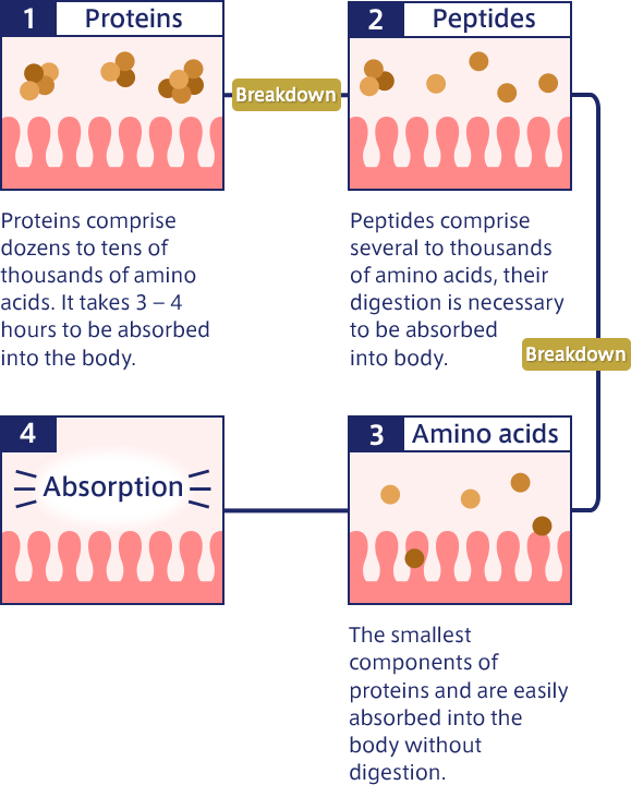 1. Proteins Proteins comprise dozens to tens of thousands of amino acids. It takes 3 – 4 hours to be absorbed into the body. Breakdown 2. Peptides Peptides comprise several to thousands of amino acids, their digestion is necessary to be absorbed into body. Breakdown 3. Amino acids The smallest components of proteins and are easily absorbed into the body without digestion. 4. Absorption